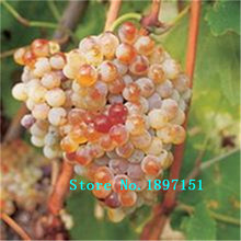 Big sale Free Shipping New Colorful Rainbow Grapes seed 30 pcs/lot Rare species bonsai fruit seeds Grape seeds,DIY home garden,e