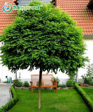 Bonsai seeds 10pcs Common Ash - Fraxinus excelsior seeds Bonsai Tree Grove - DIY home gardening! Very easy to grow!
