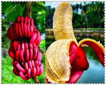 200 unids/bolsa rare red plátano semillas bonsai fruit & vegetable seeds no-ogm planta en maceta para el hogar y jardín