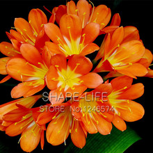 50PCS Freesia seeds potted seed freesia flower seed variety complete