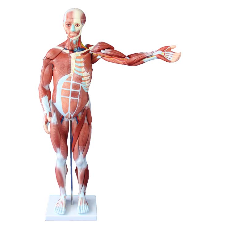 80CM HUMAN MUSCLE MODEL MALE (27 PARTS) with internal Organs Adult ...