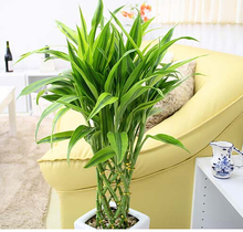 Rare 50pcs 11 kinds Lucky Bamboo seeds Anti Radiation Absorb dust tree seeds