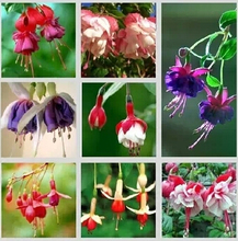 Hot Sale 22 Kinds of Fuchsia Seeds Perennial Flower Seeds Can Choose Potted Flowers DIY Planting Flower Bell Flower Seeds 120PCS