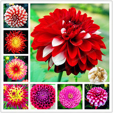 2 BulbTrue Color Mixing Dahlia Bulbs Flower,Bonsai Flower Bulb,Symbolizes Courage And Lucky,Home Garden Plant-(Not Dahlia Seeds)