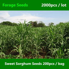 Prompt Shipment Sweet Sorghum Seeds 2000pcs, Durra Chinese Sorghum Forage Seeds, Perfekt Super Jowari Sorghum Bicolor Extra Gift(China)