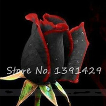 2017 New Rare Black Rose Flower With Red Edge Seedling Seed Houseplants Flowers DIY Indoor Potted Plant Decor 100 Pcs(China)