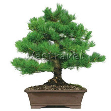 50 Japanese Black Pine Bonsai Seeds DIY Home Garden Easy-growing Hardy in Winter Ideal for Container Gardens and Ground(China)