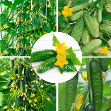 Vegetable Seeds Cucumber seeds Early Self-Pollinating Variety garden decoration plant 30pcs AA