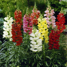 HOT! Antirrhinum majus seeds Common snapdragon flower seeds 200PCS colorful flowers Garden Home Bonsai Planting Free shipping