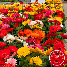 100 Seeds A Pack Big Sale!Gerbera Daisy Hybrids Mix Flower Seeds Bonsai plants easy to grow Seeds for home & garden