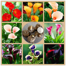 4 bulbs/Lot Calla Lily bulbs,Zantedeschia flower bulbs,spring and winter seasons,beautiful as ballet dance, indoor potted plant