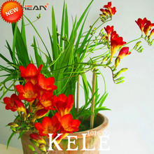 Big Promotion!Red Freesia Seeds Freesia Flower Pot Garden Terrace Perennial Flower Seeds 100 Pieces / Package,#5I0PRU