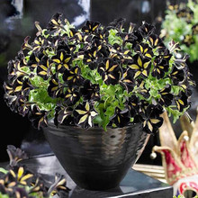 200 seeds/pack Black Color Star Petunia Seeds Garden And Patio Potted Plant Morning Glory Seeds Balcony Petunia Flowers