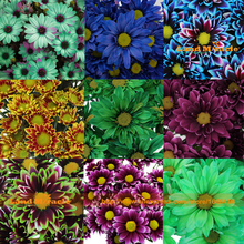2017 New 9 Colors Daisy Flower Mixed Seeds, 100 Seeds/Pack, Very Beautiful Chrysanthemum Plants Ornamental Bonsai-Land Miracle(China)