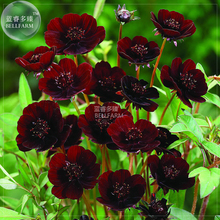 BELLFARM Cosmos Coreopsis Blackish Coffee Red Striped Dark Red White Rose Red Perennial Flower Seeds, 50 seeds, nice home garden(China)