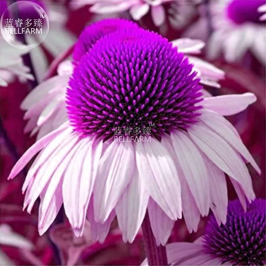 Us 169 Bellfarm Echinacea White Petals Purple Centre Perennial