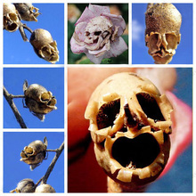 The Death Rose seeds rare and mysterious plant species of snapdragon flower seed pods skull 100 particles / bag