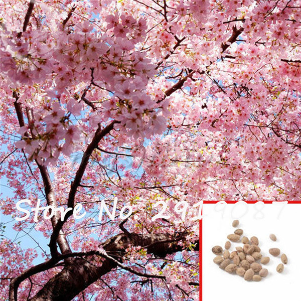 Giant Japanese Pink Cherry Blossom Sakura Tree, 5 seeds, Oriental Sweet Prunus Flower Seeds For Home Garden Planting(China (Mainland))