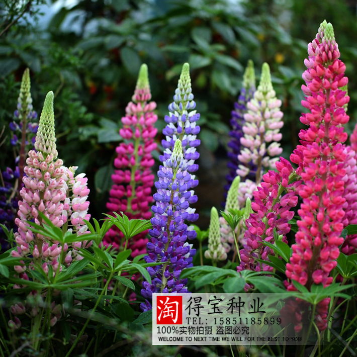 Lupine Flowers Seed Garden Balcony Potted Four Seasons Easy To Plant Flowers Grass Seeds Lupine Spring And Autumn 20 100Seeds(China (Mainland))