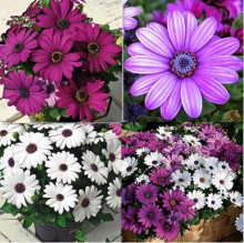 African Blue Eyed Daisy Seeds Osteospermum seeds Cape Mix Flower seeds Heirloom plant for home garden 100 seeds/pack(China)