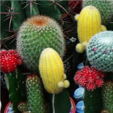 1 Original pack Mixture of cactus Seeds about 10 pieces. DIY Home Garden succulent seeds mini cactus plants, will have a gift