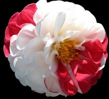 free ship 10 seeds Rare White Red Dahlia Seeds Charming Chinese Flower Seeds Bonsai Plants for Garden Wholesale Price(China)