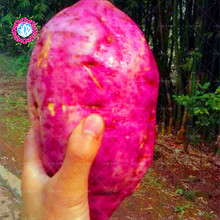 100 pcs/bag purple sweet potato seeds bonsai RARE exotic delicious giant fruit vegetable seeds home&garden free shipping(China)