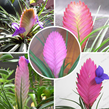 Free Ship Purple Flower Pineapple (mixed Colors) Tillandsia Cyanea Seeds, Potted Flower Seed, 40 Particles(China)