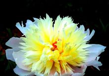 """Spring"" project Rare white yellow peony seed seedlings, professional, 5 seed packet/bag, beautiful fragrance"