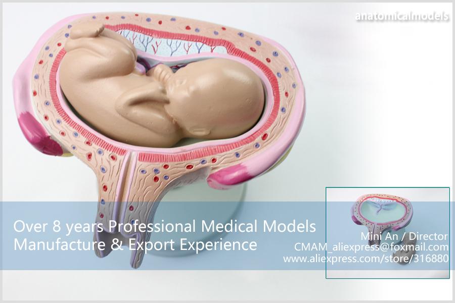 CMAM-ANATOMY12 Embryonic development model 1