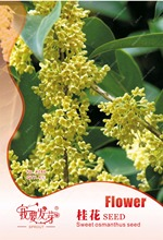 Original Pack 4 Seeds / Pack,Courtyard Osmanthus Flower Seeds,Sweet-Scented Osmanthus Tree Bonsai Plant Seed