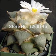 Rare cactus! 10pcs Ariocarpus Retusus v. Furfuraceus Seed Ariocarpus Seed Mini-Bonsai Radiation DIY home garden free shipping(China)