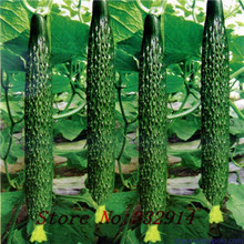 20seeds/bag Original vegetable seeds cucumber seeds xinjin fourth research balcony potted cucumber