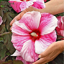 Giant Hibiscus Flower Seeds Garden Home Potted Plants Flower Okra Hibiscus Bonsai Seed 50 Particles / lot