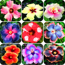 11 11 100pcs/bag Giant Hibiscus Flower Seeds chinese cheap flower Hibiscus seeds bonsai tree best gift for your kids easy grow f