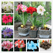 1 bulb True amaryllis bulbs,hippeastrum bulbs,bonsai flower bulbs,hippeastrum flowers Bulbous Root Barbados Lily potted plant