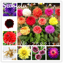 True Dahlia Bulbs 2 pcs Beautiful Perennial Dahlia Flower Bulbs Bonsai For Home Garden Plants Symbolizes Courage And Lucky