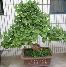 10 pcs / bag,Ginkgo seeds, potted seed, flower seed, variety complete, the budding rate 95%, (Mixed colors)