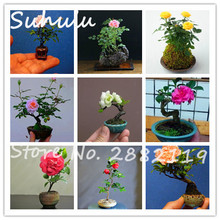 Rare Mini Rose Bonsai Seeds 200pcs Beautiful Chinese Rose Flowers Indoor Bonsai Plant attractive light up your garden Mix Colors