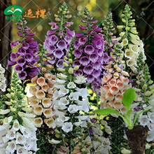 Foxglove flower seeds seedlings saplings Fall Seasons kinds of flowers potted plants 10 seeds
