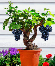 Hot Sale! 50 Succulent Fruit Seeds Grape Seeds, Miniature Bonsai Delicious Seeds Natural Growth, Easy to Grow Plant for Garden(China)