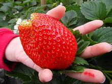 Promotion!2017hot-sale,Fruit seeds Super Giant Strawberry perfume strawberry fruit,200seeds/bag,DIY plant bonsai for home garden