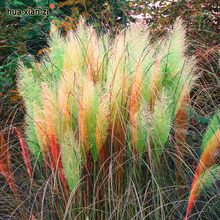 Cheap 500pcs / bag colorful Pampas Grass Cortaderia Seeds Are Very Beautiful Garden Plants Decorative DIY(China)