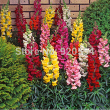 100pcs/original packing Snapdragon, Dragon's month seed mixed colors bonsai plant DIY home garden free shipping(China)
