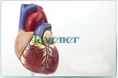 1:1 Human Anatomical Heart Anatomy Viscera Medical Organ Model Emulational + Stand<br>