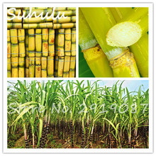 50seeds/bag sugar cane seeds Are rich in sugar sugarcane seed delicious Vegetable and fruits seeds diy home garden planting