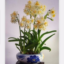hot sale Seeds Beautiful Narcissus Flower Balcony Plants Aquatic Plants Double Petals Pink Daffodils Seeds 100 Pieces