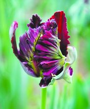 Imports of ornamental plants. World rare parrot tulip bulbs -10PC bonsai (not tulip seeds)
