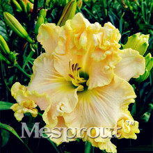 100 Pcs Hybrid Mix  Daylily Flowers Seed Rare Colour Hybrid Hemerocallis Seeds New Day Lily Seed Packet Garden Decoration *