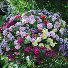 'Mudan' Hanging Mixed Double Petunia Hybrid Seeds, 200 seeds, professional pack, a must for hanging baskets E4104